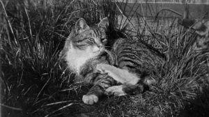 Totti-kissa. Kuva: Edith Södergran