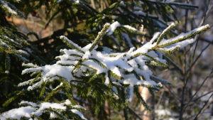 Grankvistar med snö.