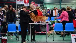 Domare bedömer en hund på en utställning