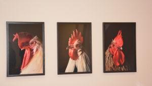Kenneth Bambergs foton av tuppar