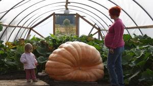 liten flicka och gravid kvinna står och beundrar en jättepumpa i ett växthus