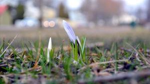 Blommor kommer upp i park i Lovisa.