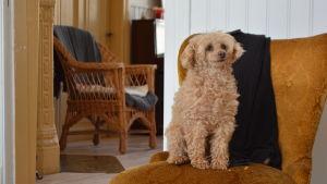 Hunden Pippi poserar i sitt hem i Lovisa.