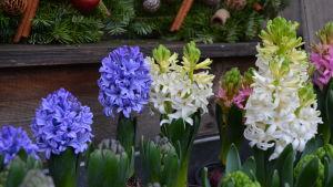 Vita och blåa blommor