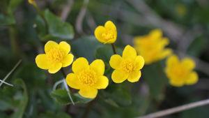 Närbild av kabblekans blommor