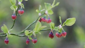 Blåbärsris i blom