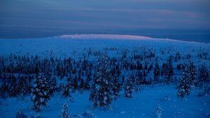 Lumista metsää tunturissa. Valo on kaamoksen sininen, kauimpana lumeen osuu ensimmäiset auringonsäteet.