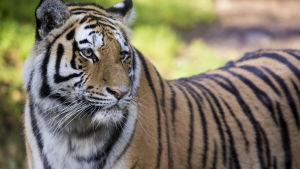 Det sibiriska tigerparet på Högholmen har fått trillingar