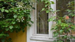 Fönster i Rita Bergmans hus i Kårlax, Pargas.