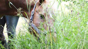 Islandshäst på sommarbete