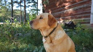 Jaktlabradoren Vivi tittar ut över skogsmarken.