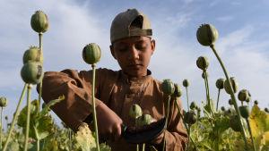 Åker med opiumvallmo i Afghanistan i april 2016.