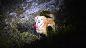Hund med sändare runt halsen står i mörk skog.