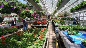 Rader av sommarblommor i växthus.
