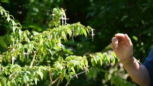 Maarit Lehto pekar ut intressanta växter i Fredrikas trädgård.