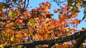 Höstigt träd i Borgå.