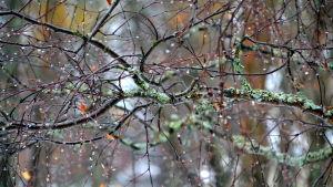 Regndroppar som hänger från gren