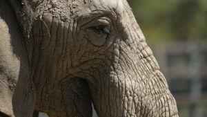 En närbild av en elefants huvud.