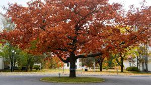 Träd med höstfärgade röda blad på Forsby sjukhusområde.
