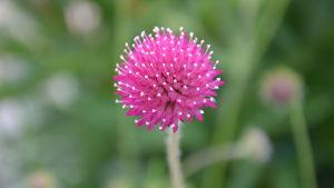 Klotformad blomma.