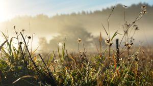 Gräs i morgondimma