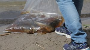 Gräskarparna fraktas i påsar med syresatt vatten med sju fiskar i varje påse.