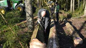 Man kontrollmäter tjockleken på en trädstam som avverkats.