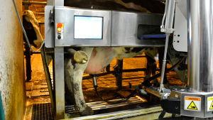 Ko mjölkas av robot.
