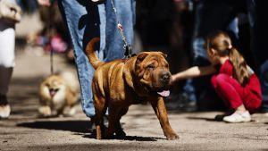Shar pei -hund på hundparaden Puppy Parade i Brunnsparken i Helsingfors den 28 maj 2017.