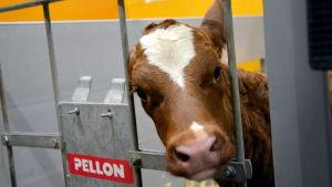 Några dagar gammal kalv kikar nyfiket på besökare i ladugården-