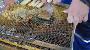 biodlaren tar bort bivax och honung från en biram