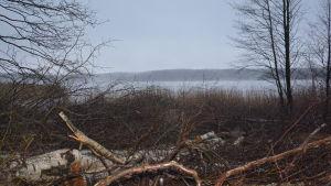 Träd som har fällts vid Dragsvikstranden i Ekenäs.
