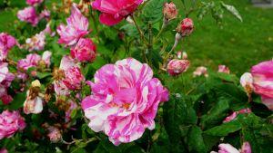 Rosen Rosa Mundi.