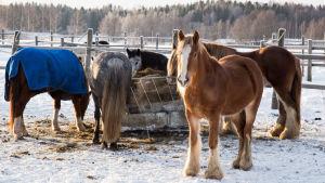 Hästar utfodras