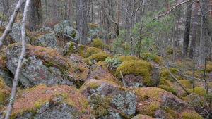 En massa mossbeklädda stenar