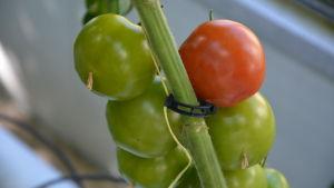 En röd tomat i en klase med gröna tomater.