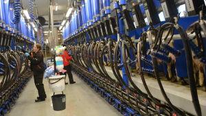 Mjölkning av getter på Ånäs gård