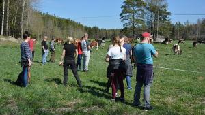 Publik som följer med kor i hage.
