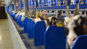 Getter på mjölkning på Ånäs gård