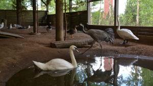 Svanar, tranar, änder och måsar samsas i samma bur. en svan simmar.