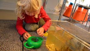 Flicka ser närmare på fisk hon fångat i akvariet.