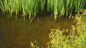 Vatten i Tasträsk som lär ska innehålla blågröna alger.