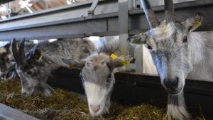 Getter på Ånäs gård