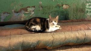 Katt i Eremitaget