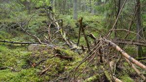 orörd gammal skog