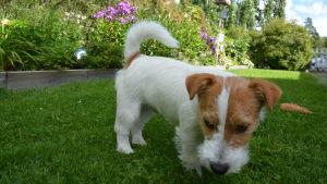 Hunden Hugo nosar i gräset.
