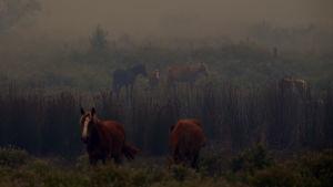 Några hästar står i röken från bränderna.