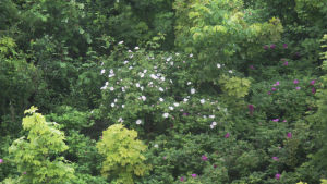 LInnanmäen vesitornin katolla kasvaa kurttu- ja villiruusua.