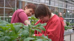 Arbete med tomatplantor