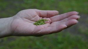 En handfull grobladsfrön.